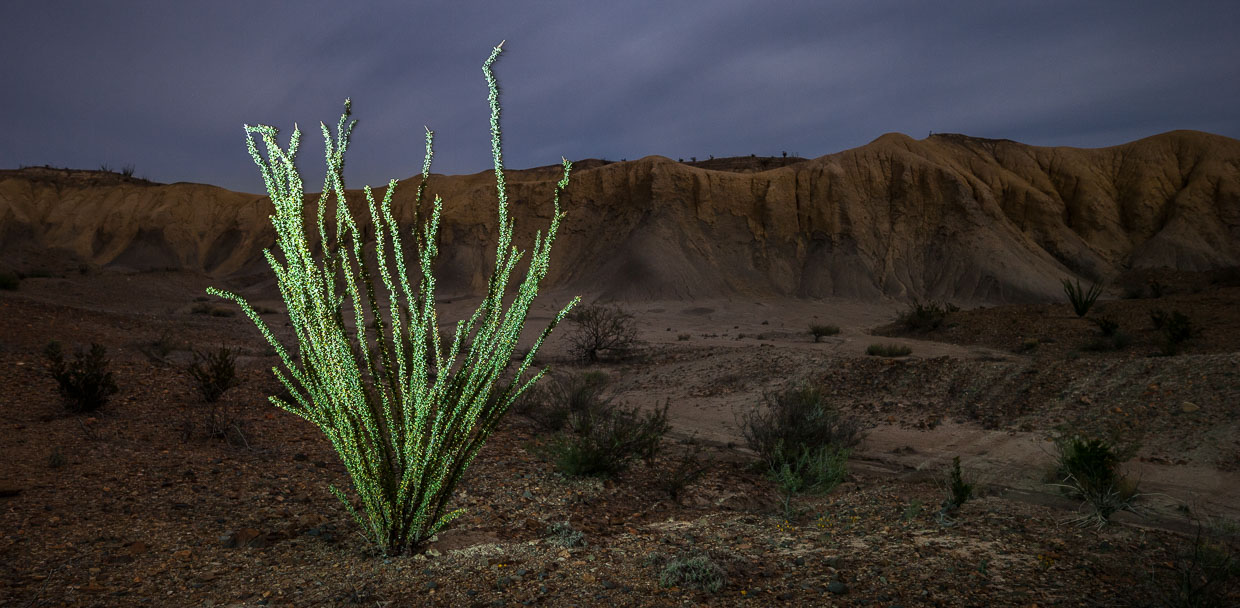 Ocotillo by Scott Martin